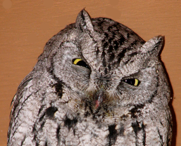 Western screech owl activity page western screech owl resources page